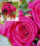 Parfum-Rose ´Regis Marcon&reg,´,1 Pflanze