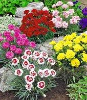 Prachtmischung �Duft-Gartennelken�,5 Pflanzen