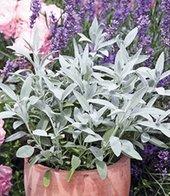 Marzipan-Salbei,1 Pflanze