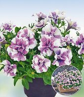 H�nge-Petunie �Origami Lavender Touch�,3 Pflanzen