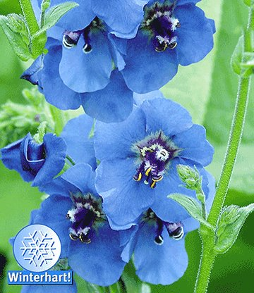 verbascum 39 blue lagoon 39 sonderartikel bei baldur garten. Black Bedroom Furniture Sets. Home Design Ideas