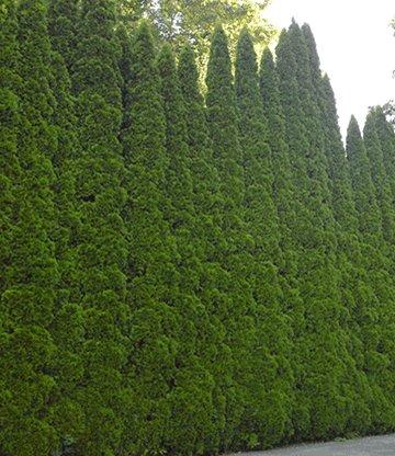 lebensbaum hecke 39 thuja smaragd 39. Black Bedroom Furniture Sets. Home Design Ideas