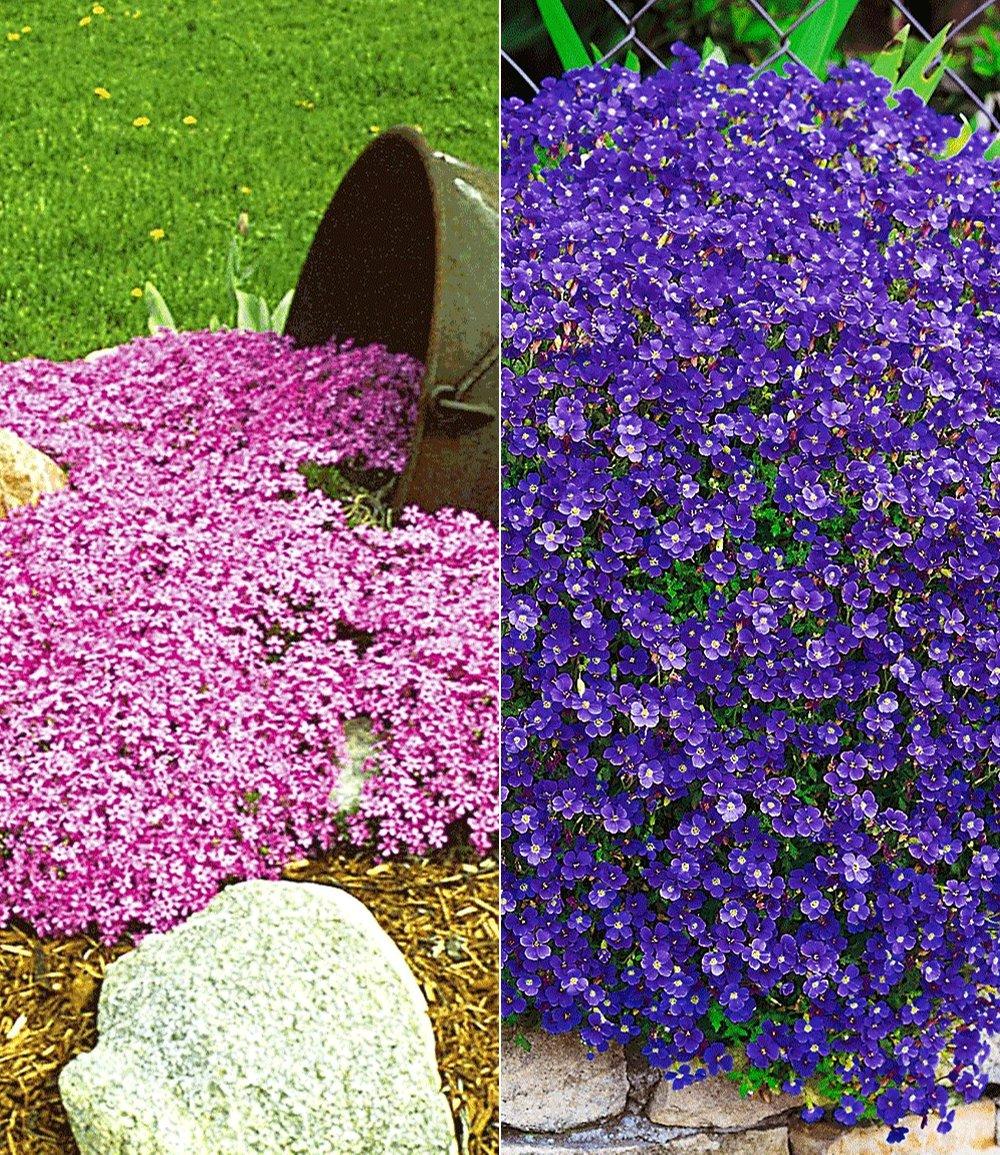 Bodendecker Polsterstauden-Kollektion rosa/blau
