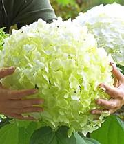 Jasmin pflanze bauern jasmin bei baldur garten online kaufen for Baldur garten erfahrung