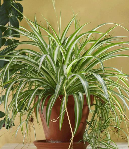 Gr nlilie zimmerpflanzen bei baldur garten for Zimmerpflanzen dekorativ