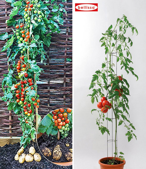 tomtato tomatens ule tomaten bei baldur garten. Black Bedroom Furniture Sets. Home Design Ideas