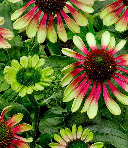 echinacea purpurea green twister top stauden baldur garten. Black Bedroom Furniture Sets. Home Design Ideas