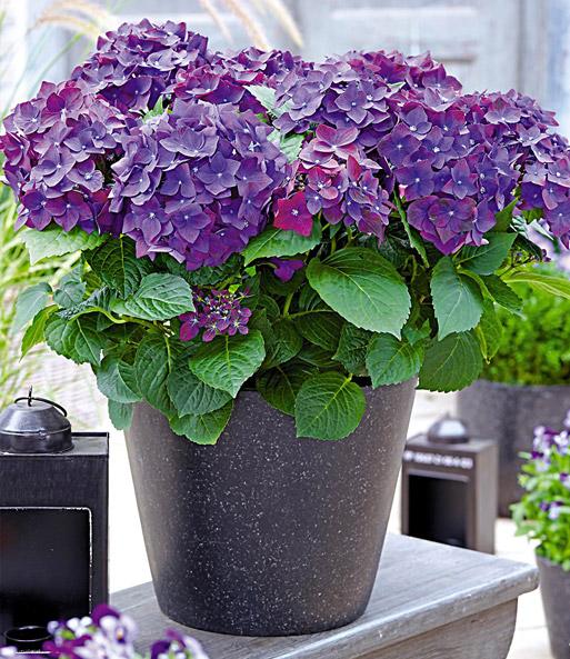 freiland hortensie 39 deep purple 39 bl hende str ucher bei baldur garten. Black Bedroom Furniture Sets. Home Design Ideas