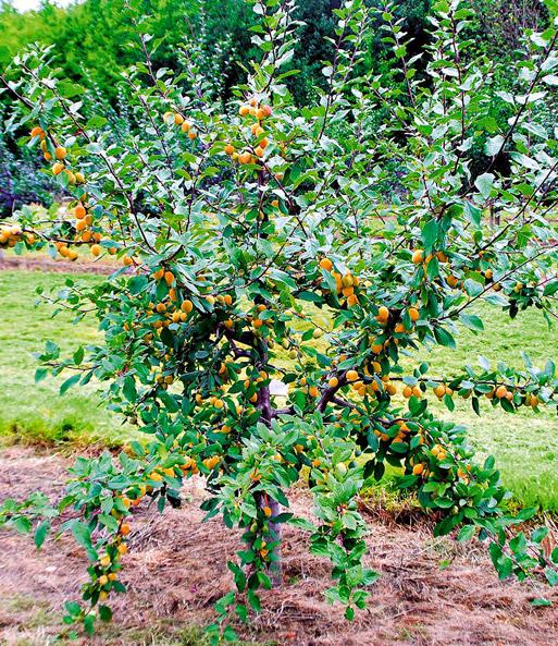 Mirabellenbaum kaufen amazon