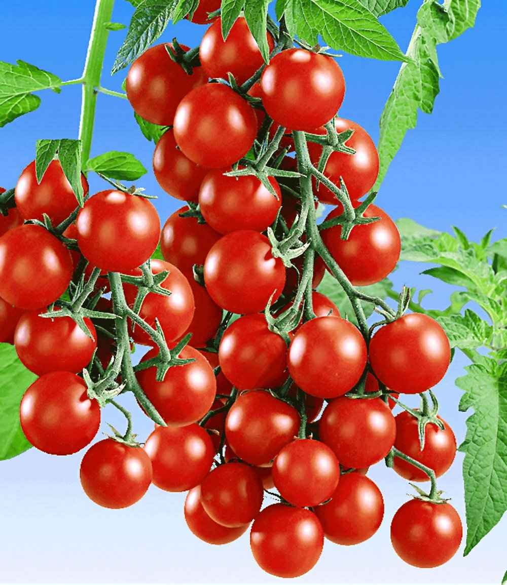 veredelte snack tomate 39 lupitas 39 f1 tomaten bei baldur garten. Black Bedroom Furniture Sets. Home Design Ideas