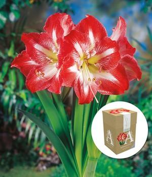 Amaryllis ´Minerva´ mit Geschenkbox,1 Zwiebel