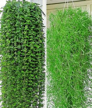 Hängepflanzen Online Kaufen Bestellen Bei Baldur Garten