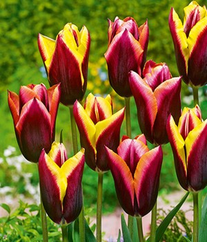 Tulpen-Mix 'Striped Bats'
