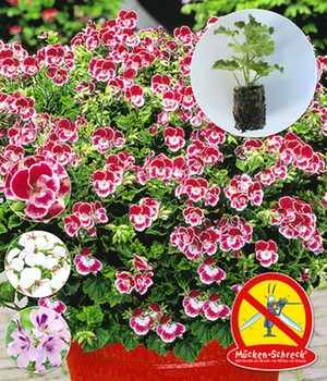 Duft-Geranien  - Mückenschreck&reg, - ,9 JUMBO-Jungpflanzen