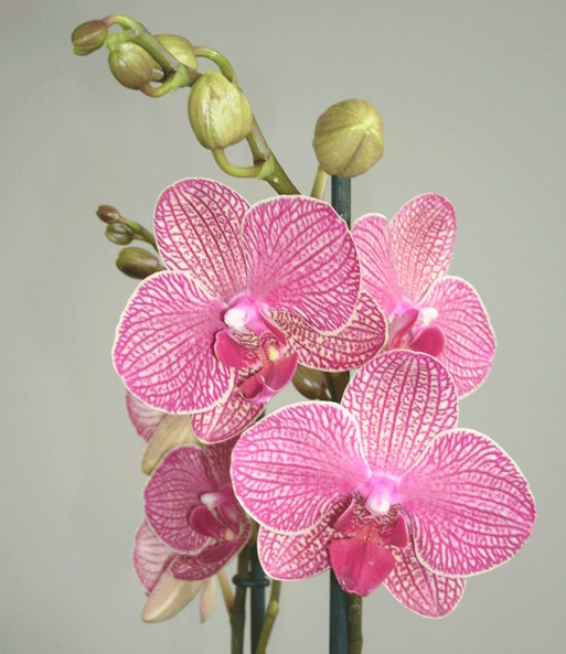 phalaenopsis orchidee gesprenkelt im glas baldur garten. Black Bedroom Furniture Sets. Home Design Ideas