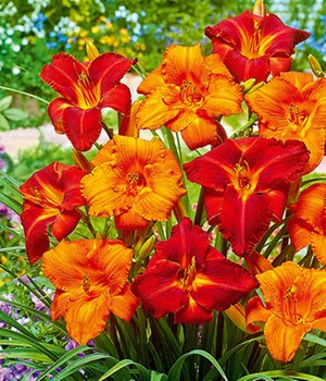 Hemerocallis-Mix 'My Reggae & Amadeus'