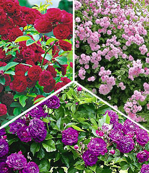 Rambler-Rosen-Kollektion: 1A-Qualität   BALDUR-Garten