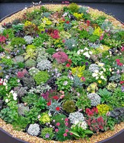 Steingartenstauden Niedrige Mischung für ca 50 Pflanzen