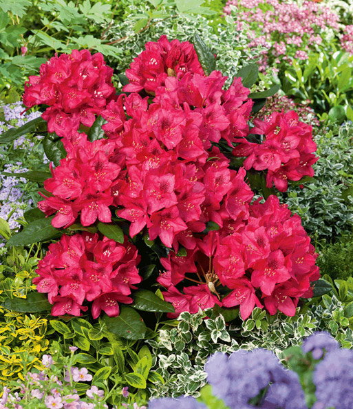 rhododendron rot 1a qualit t online kaufen baldur garten. Black Bedroom Furniture Sets. Home Design Ideas