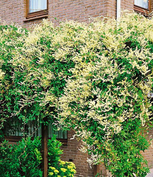 Kletterpflanze Halbschattig knöterich kletterpflanzen bei baldur garten