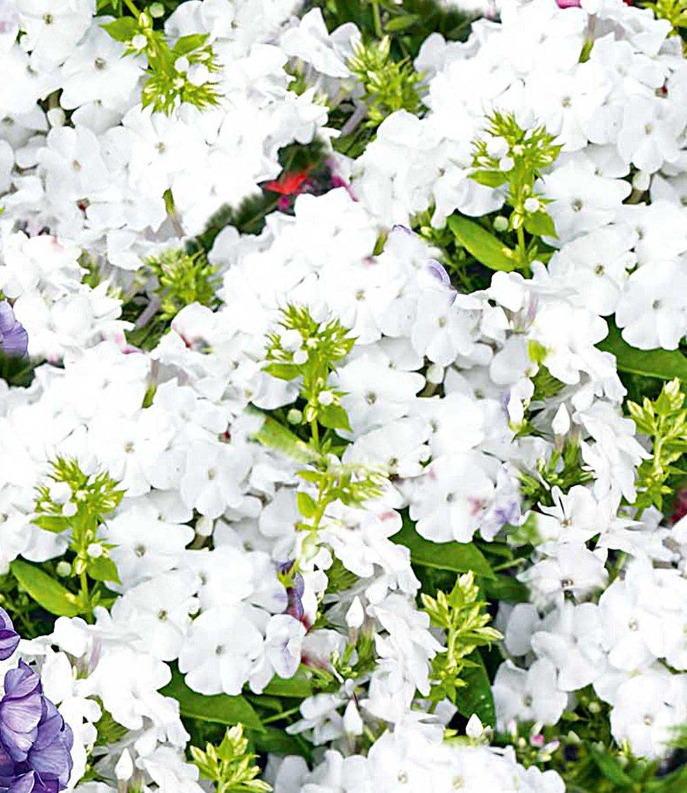 Duft-Phlox 'Weiß'