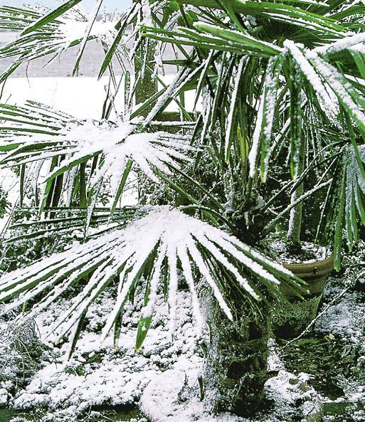Winterharte Kubel Palme 1a Kubelpflanzen Baldur Garten