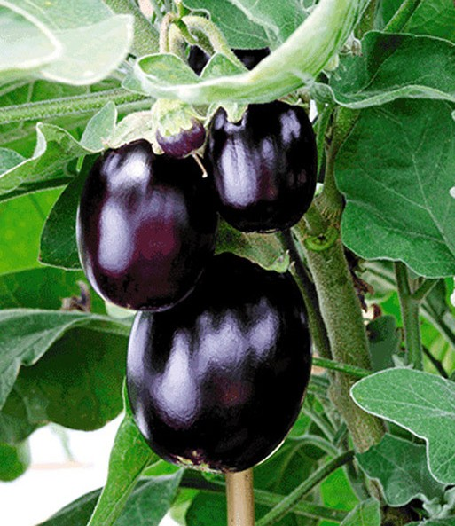 aubergine 39 jackpot 39 aubergine bei baldur garten. Black Bedroom Furniture Sets. Home Design Ideas