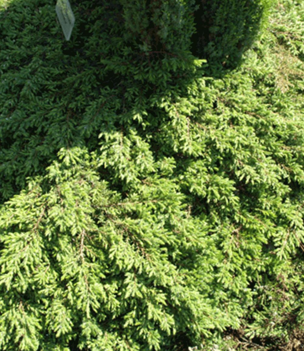 Kriech-Wacholder 'Green Carpet'