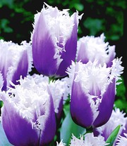 Tulpe 'Blue Cummins'