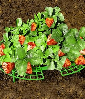 Erdbeer-Reifer,5 Stück