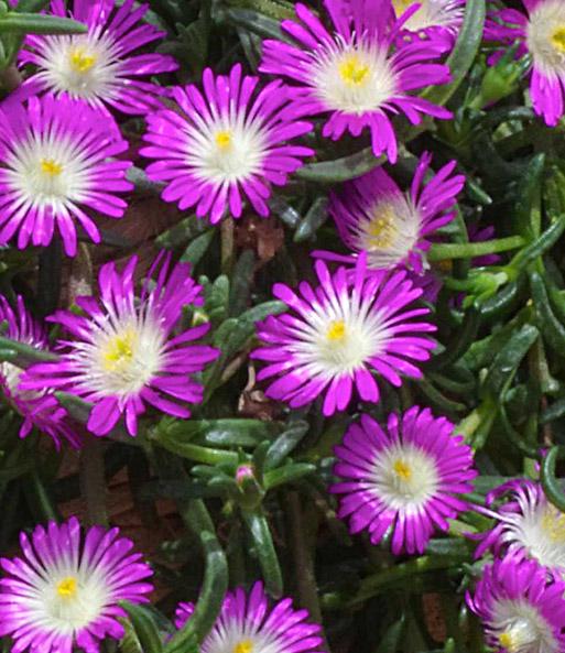 """Winterharte Eisblume /""""Violett Wonder/"""";3 Pflanzen Delosperma congesta"""