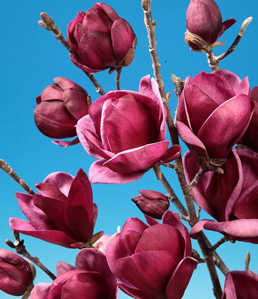 Magnolie Genie Magnolie Bei Baldur Garten