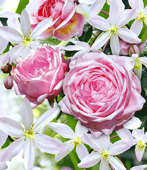 Set Clematis \'Armandii\' & Rose \'Nah   Kletterpflanzen bei BALDUR-Garten