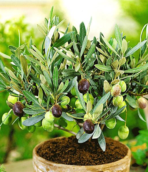 Hervorragend Olivenbaum Pflege: Tipps zum Pflanzen & Pflegen von Oliven PH92