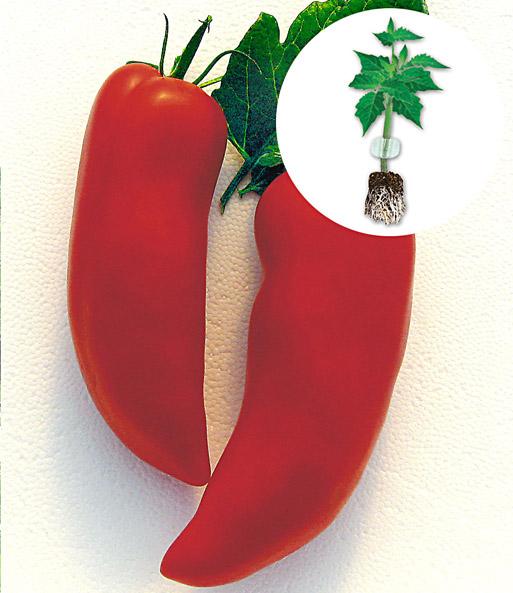 veredelte tomate 39 cornabel 39 f1 top qualit t kaufen baldur garten. Black Bedroom Furniture Sets. Home Design Ideas