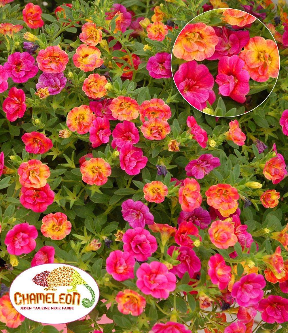 Zauberglöckchen 'Chameleon Double-Pink-Yellow'
