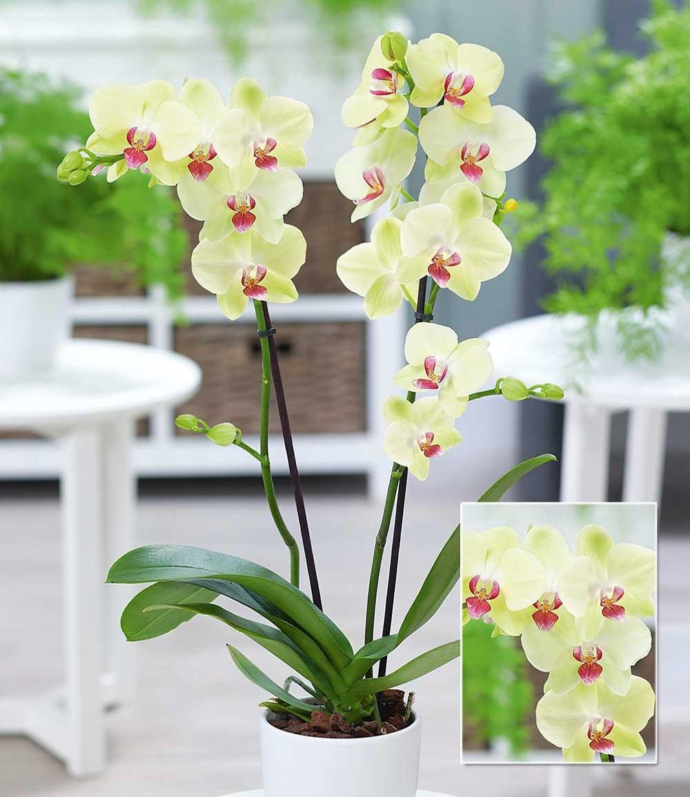 Phalaenopsis Orchidee, 2 Triebe, 'Gelb'