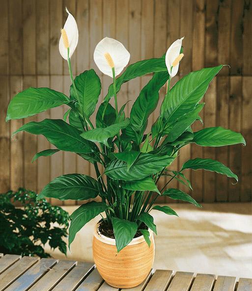 bubikopf gummibaum einblatt xx geschenkideen mit zimmerpflanzen bei baldur garten. Black Bedroom Furniture Sets. Home Design Ideas