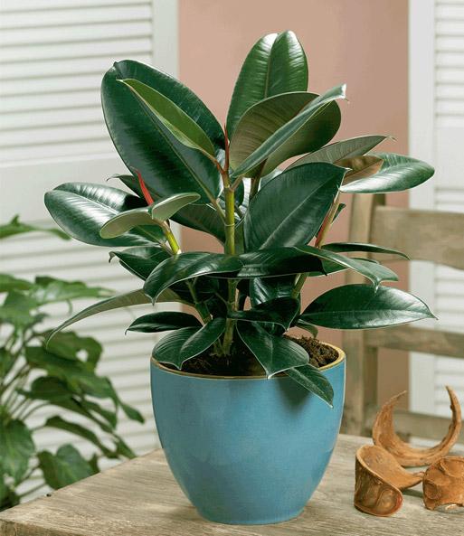 bubikopf gummibaum einblatt xxs zimmerpflanzen bei baldur garten. Black Bedroom Furniture Sets. Home Design Ideas