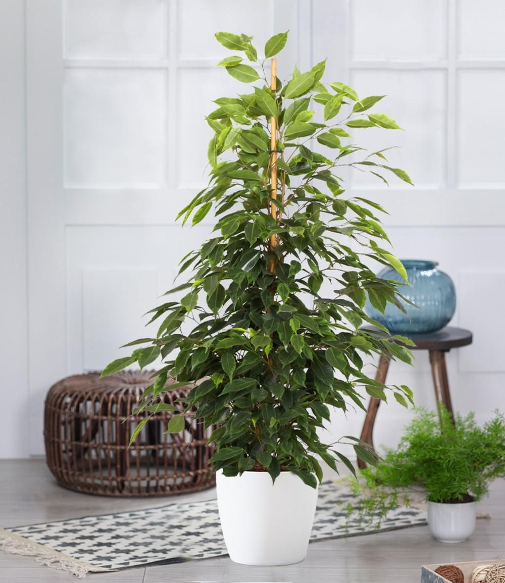 Ficus benjamini 'Exotica' ca. 80 cm hoch