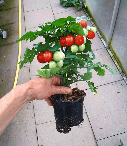 topf tomaten pflanze 39 sturdy jo 39 f1 snackgem se bei baldur garten. Black Bedroom Furniture Sets. Home Design Ideas