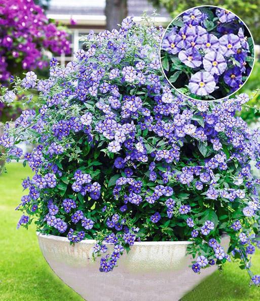 blaues solanum 39 rantonetti 39 balkonpflanzen bei baldur garten. Black Bedroom Furniture Sets. Home Design Ideas