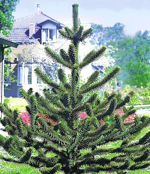 Affenschwanz-Baum | Immergrün, Auch Im Winter Bei Baldur-Garten