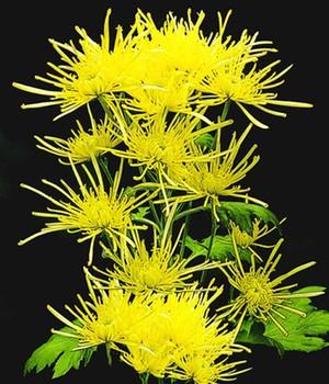 chrysanthemen bl tenf lle f r den garten online kaufen. Black Bedroom Furniture Sets. Home Design Ideas