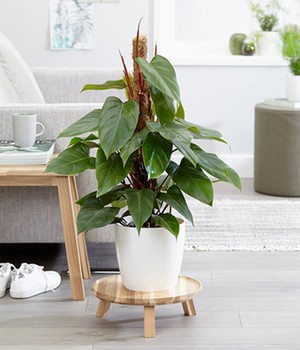 Philodendron - Roter Baumfreund 'Red Emerald' ca. 100 cm hoch