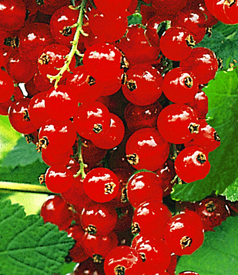 Johannisbeere 'Rote Rovada®'