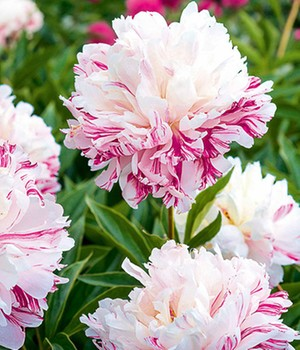 Paeonia 'Candy Stripe®'