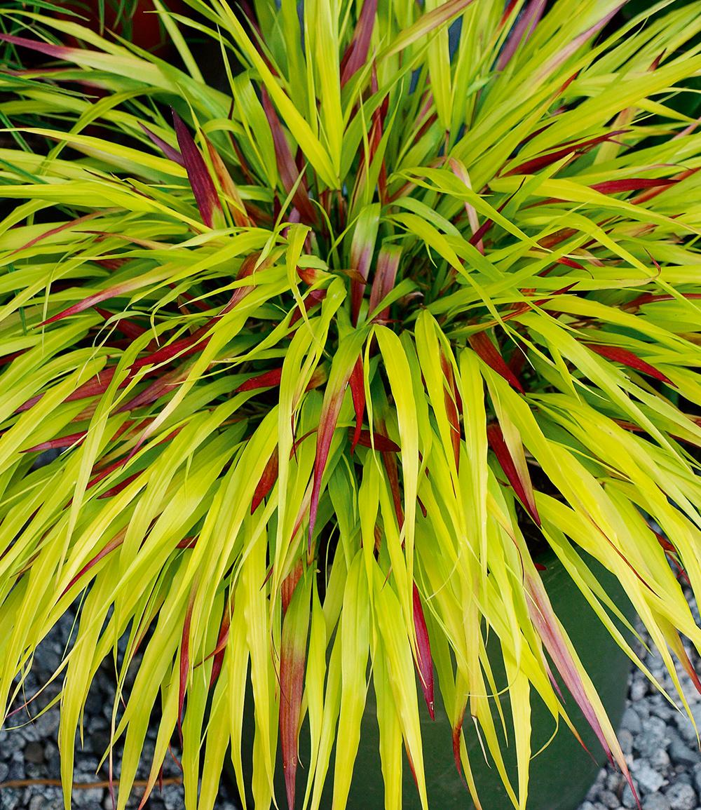Japanisches Waldgras 'SunFlare®'