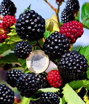 Zuckerbrombeere  - Asterina&reg, - ,1 Pflanze