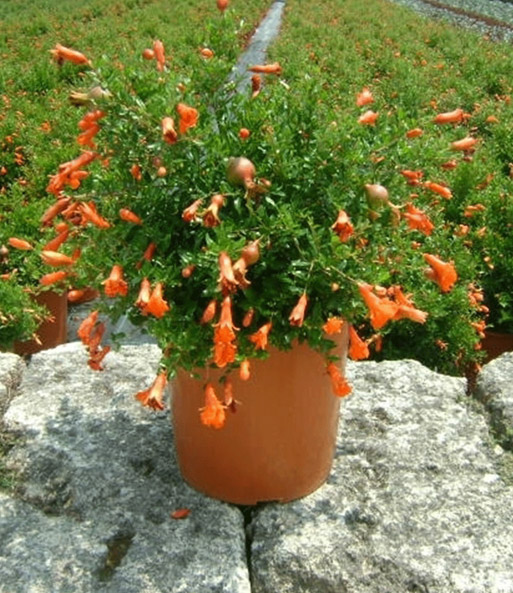 Granatapfel 'Orange Explosion'